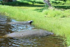 Manatees Eating Grass Royalty Free Stock Images