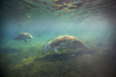 Manatees Foraging - Fanning Springs Stock Photo