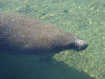 Manatees Royalty Free Stock Photos