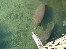 Manatees Stock Photos