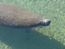Manatees Royalty Free Stock Images