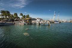 Manatees in ocean key west Royalty Free Stock Photo