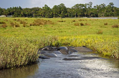 Manatees on the Tomoka Royalty Free Stock Photo