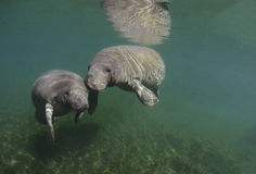 Manatees (Sirenia) Royalty Free Stock Images