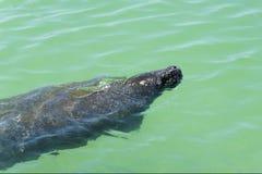 ManateeTrichechus simning i den varma golfen av Mexico Arkivbilder