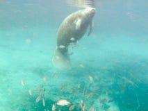 Manatus Trichechus Manatee υποβρύχιο στοκ εικόνες με δικαίωμα ελεύθερης χρήσης
