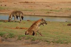 2 mancharam a hiena nas planícies no parque nacional de Hwange Fotos de Stock Royalty Free