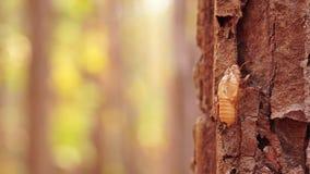Manchas de la cigarra del carro en la corteza de un árbol grande metrajes