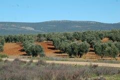 Manchegan оливковые дерева Стоковые Изображения RF