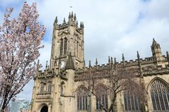 Manchester Cathedral. Manchester, UK - Anglican Cathedral. Spring time cherry blossom. City in North West England. Grade I listed building Stock Photo
