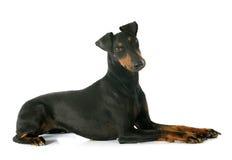 Manchester terrier Arkivfoto