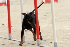 Manchester Terrier in agility Royalty Free Stock Photos