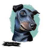 Manchester terrier, English dog breed digital art illustration. Smooth-haired pet domesticated to control vermin. Notably rats. Healthy canine originated in royalty free illustration