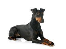 Manchester terrier Stock Photos