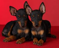 Manchester terrier puppies Stock Photo