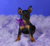 Manchester terrier puppy Royalty Free Stock Photo