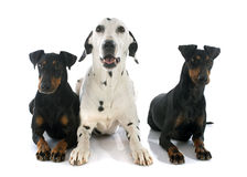 Manchester terriers and dalmatian Royalty Free Stock Photography