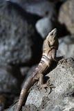Manchi dell'iguana coperto di spine-munita veduta nella grande isola di cereale Nicaragua Centr Fotografie Stock Libere da Diritti