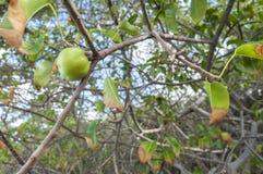 Manchineel frukt på träd Arkivbilder