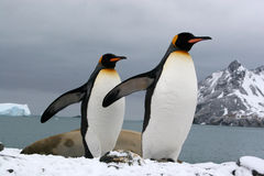 Manchots royaux (Georgie du Sud). King penguins (Fortuna bay, Georgie du sud - Ile sub-antarctique Stock Image