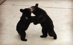2 manchu бурого медведя или волосатого ухо носят воевать Стоковое Изображение RF