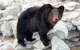 Manchu brown bear or Hairy ear bear. Brown bears are one of the largest carnivora mammals on land Stock Photos
