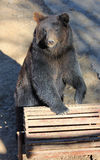 Manchu brown bear or Hairy ear bear Royalty Free Stock Photos