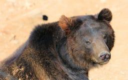 Manchu brown bear or Hairy ear bear Royalty Free Stock Image