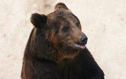 Manchu brown bear or Hairy ear bear Royalty Free Stock Photo