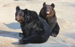 Manchu brown bear or Hairy ear bear Stock Image