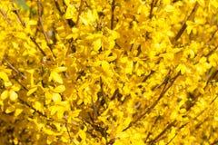 Manchurian aralia κίτρινα λουλούδια Στοκ Φωτογραφία