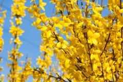 Manchurian aralia yellow flowers Royalty Free Stock Photos