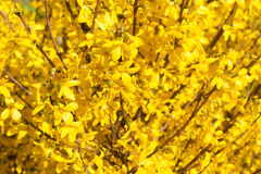 Manchurian aralia yellow flowers Stock Photography