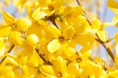Manchurian aralia yellow flowers Royalty Free Stock Image