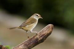 Manchurian Bush-Warbler,Cettia diphone Royalty Free Stock Photos