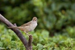 Manchurian Bush-Warbler,Cettia diphone Royalty Free Stock Image