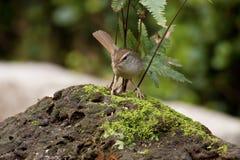 Manchurian Bush-Warbler,Cettia diphone Stock Photos