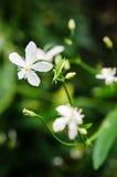 Manchurian Clematis flowers. Closeup image of Manchurian Clematis (Clematis mandshurica Stock Photo