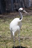 Manchurian Crane. A manchurian crane. also known as a japanese crane Royalty Free Stock Photo