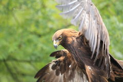 Manchurian golden eagle. The detail of flying Manchurian golden eagle Stock Image