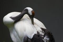 Manchurian kraan-Vogel royalty-vrije stock afbeeldingen
