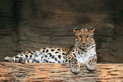 Manchurian leopard Royalty Free Stock Image