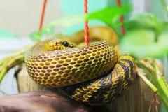 Manchurian rat snake. Elaphe anomala Stock Images