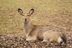 Manchurian sika deer Stock Photo