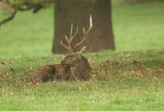 A stunning Manchurian Sika Deer Cervus nippon mantchuricus or Cervus nippon dybowskii resting under a large tree during rutting. A Manchurian Sika Deer Cervus Stock Image