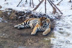 Manchurian Tiger in Snow Royalty Free Stock Photo