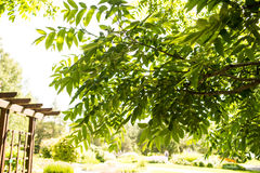 Manchurian walnut branches. And leaves in a botanical garden from Finland Stock Photography