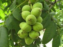 Manchurian walnut juglans mandshurica ripe fruits on the tree. Manchurian walnut juglans mandshurica ripe fruits on the deciduous tree Royalty Free Stock Photo