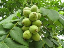 Manchurian walnut juglans mandshurica ripe fruits on the tree. Manchurian walnut juglans mandshurica ripe fruits on the deciduous tree Stock Photography