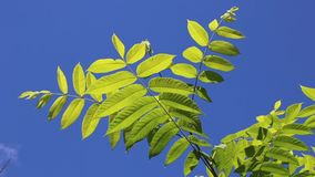 Manchurian walnut leaves Royalty Free Stock Photo